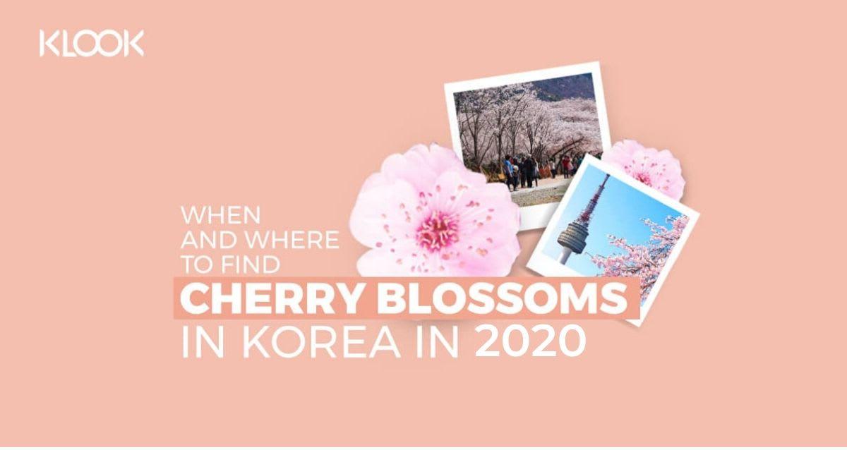 cherry blososm korea 2020