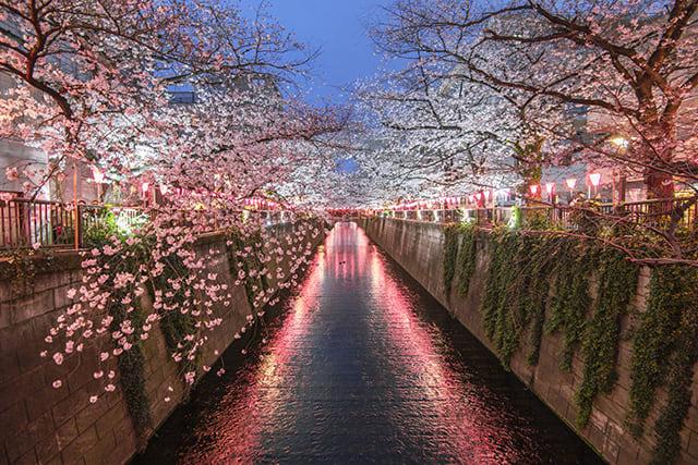 Tokyo Meguro River Sakura