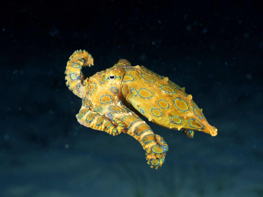 Blue-Ringed Octopus, Mabul Island Malaysia