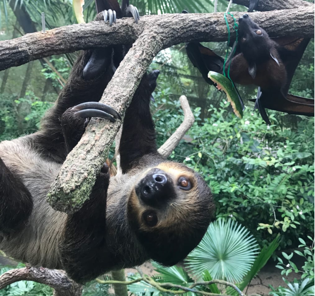 all-you-need-to-know-about-Singapore's-zoological-parks-sloth