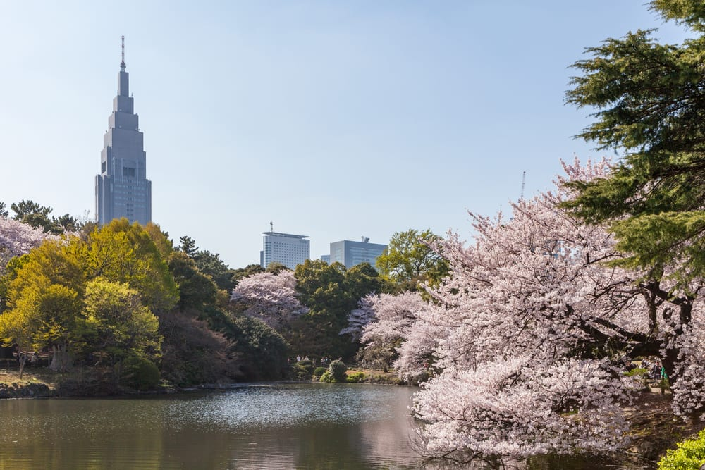 Shinjuku Gyeon Cherry Blossom