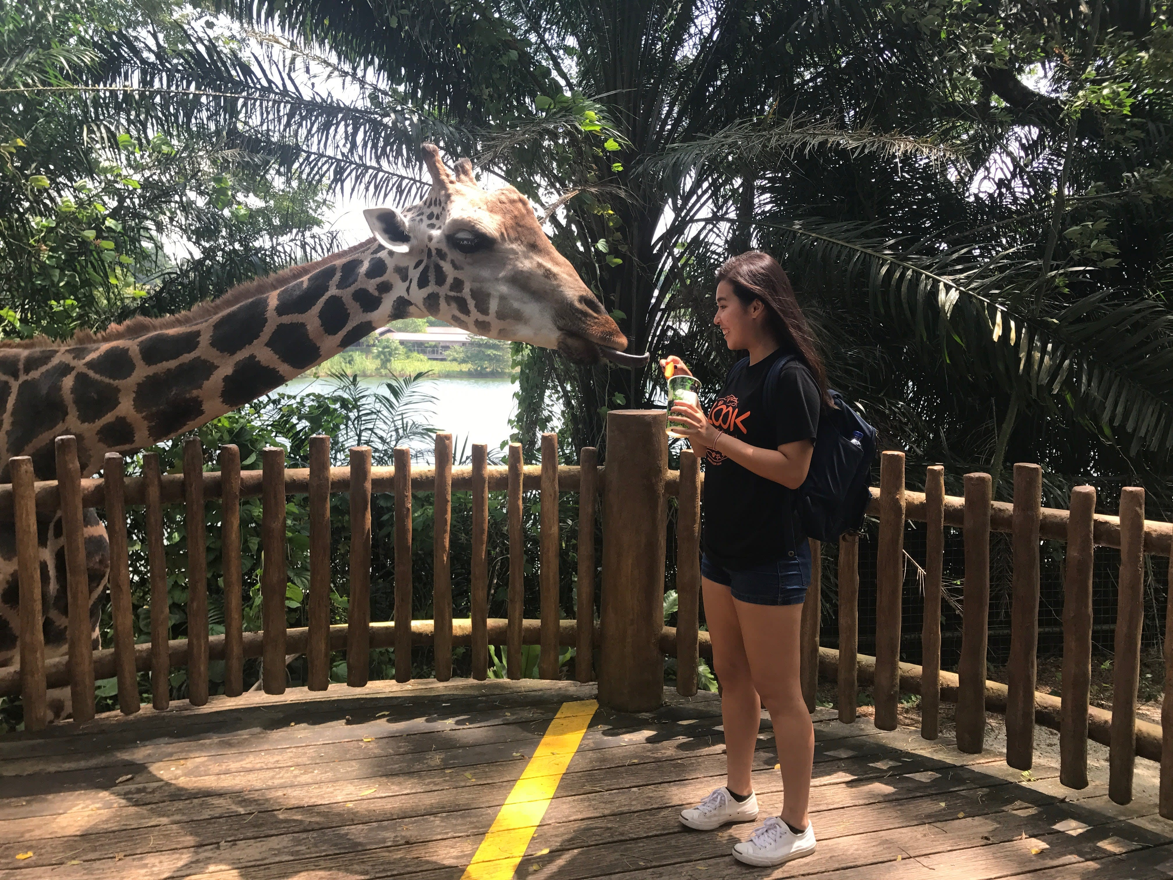 all-you-need-to-know-about-Singapore's-zoological-parks-giraffe-feeding