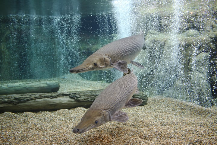 all-you-need-to-know-about-Singapore's-zoological-parks-river-safari-alligator-gar