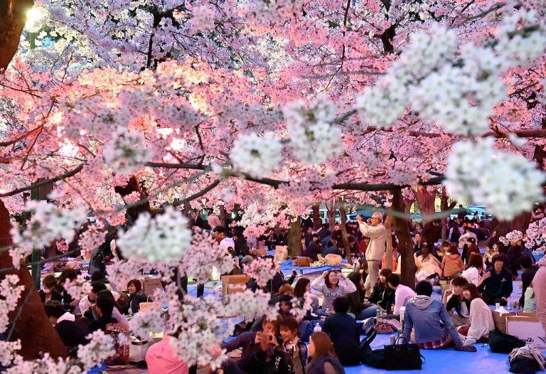 Fukuoka cherry blossom