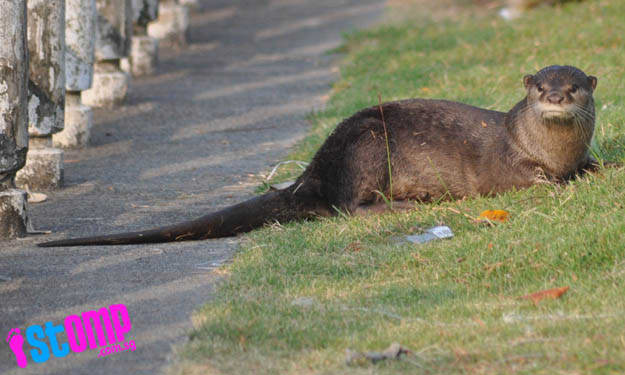 Punggol Otter