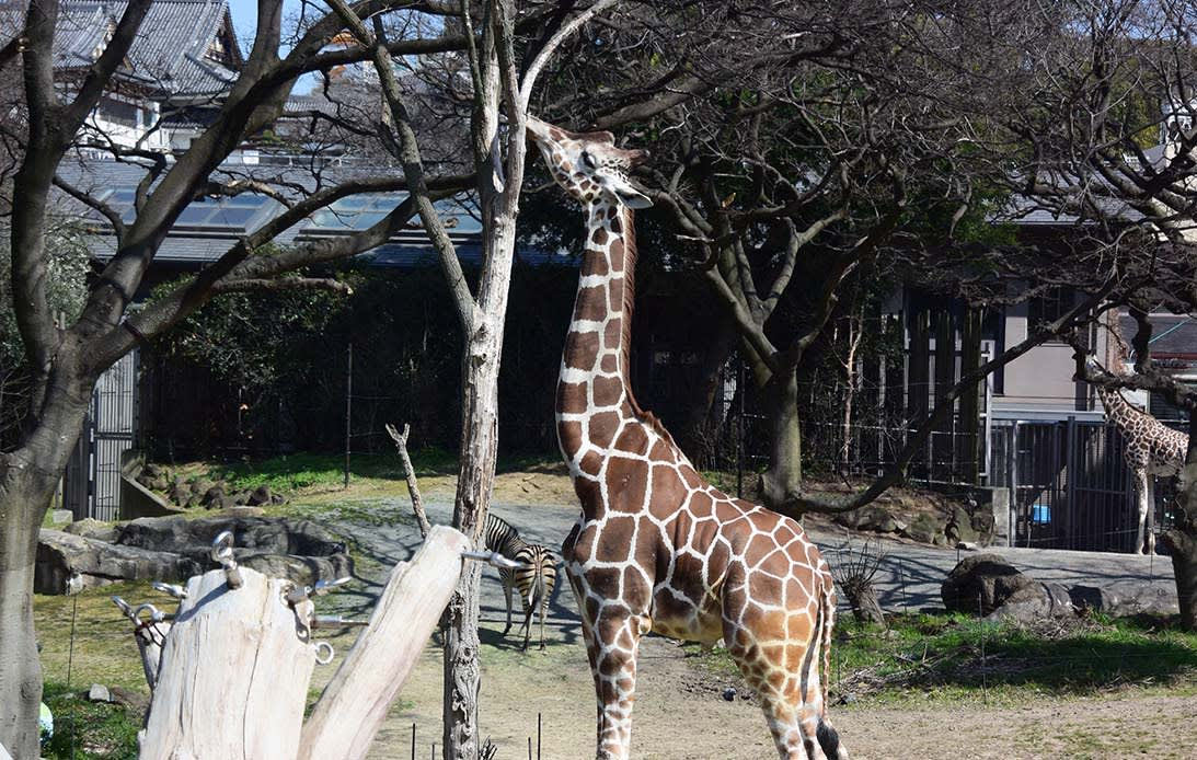 Giraffe at Tennoji Zoo