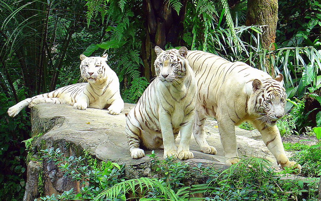 singapore-zoo-white-tigers
