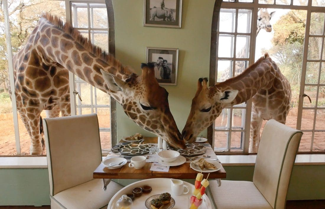 giraffe-at-breakfast