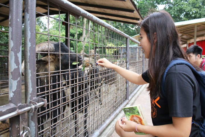 all-you-need-to-know-about-Singapore's-zoological-parks-kidzworld-goat-feeding