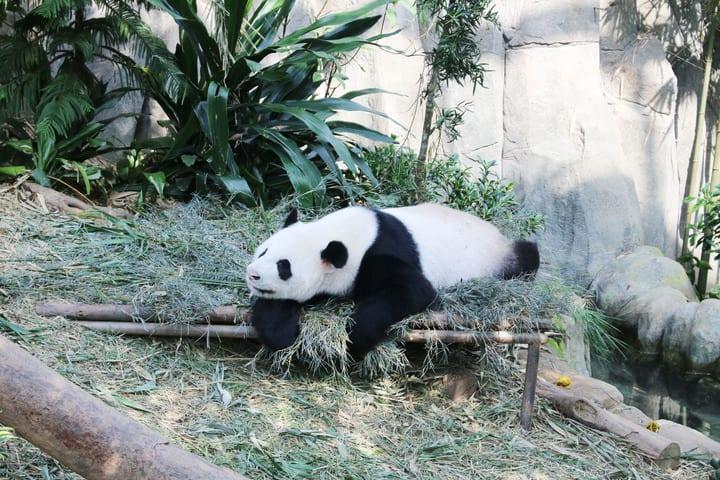 all-you-need-to-know-about-Singapore's-zoological-parks-river-safari-panda-kai-kai