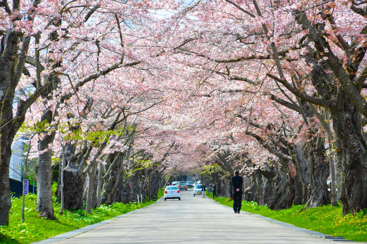 Sapporo during the cherry blossom season