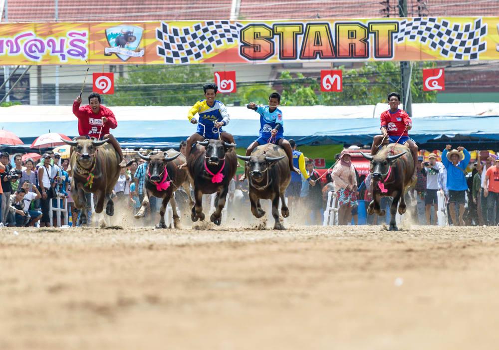 buffalo racing festival, buffalo racing chonburi thailand, buffalo festival thailand