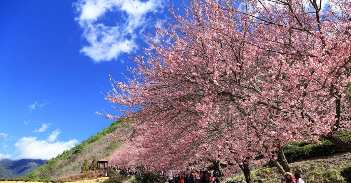 klook taiwan cherry blossom forecast