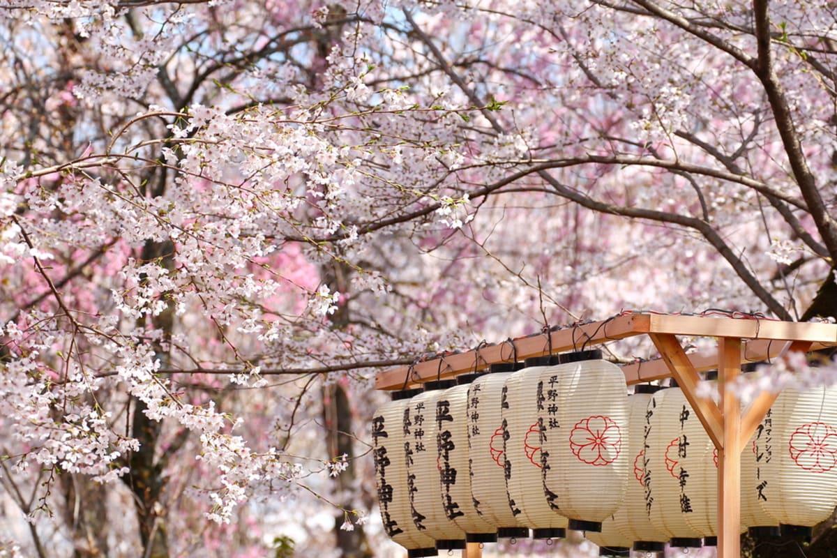 Cherry Blossom Season Japan