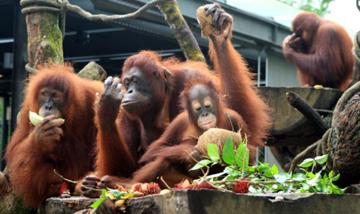 breakfast-with-orangutans-singapore-zoo