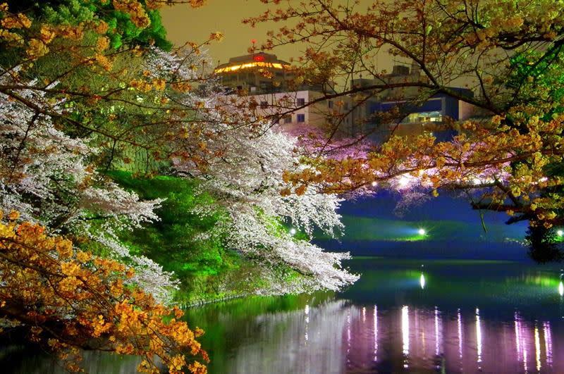 千鳥淵的夜櫻(照片來源:Pixabay)