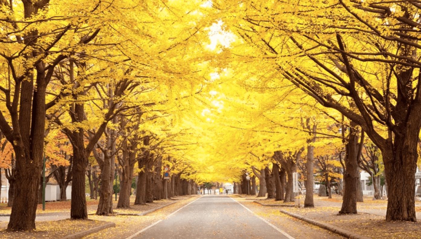北 海 道 大 學 最 著 名 的 銀 杏 大 道 ( 圖 片 來 源 : goo.gl/n0NlUb )