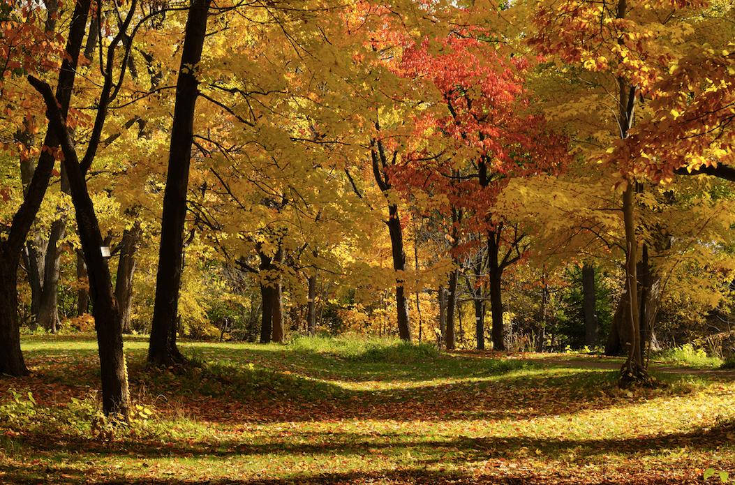 北 海 道 大 學 生 物 校 區 的 楓 葉 林( 圖 片 來 源 : goo.gl/k2zrgD )