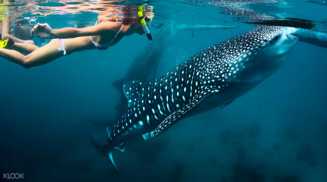 可愛的鯨鯊,這輩子一定要看一次。|You must see this cute whaleshark in your lifetime