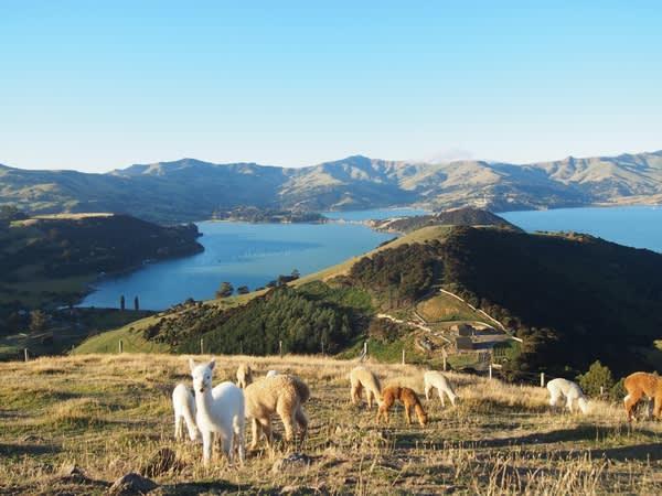 不只羊駝可愛,風景也美得無話可說