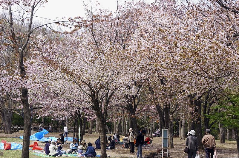 花季時旅客可自在地在圓山公園滿開的櫻花下烤肉野餐(照片來源:札幌觀光協會官網)https://goo.gl/4pgrtg
