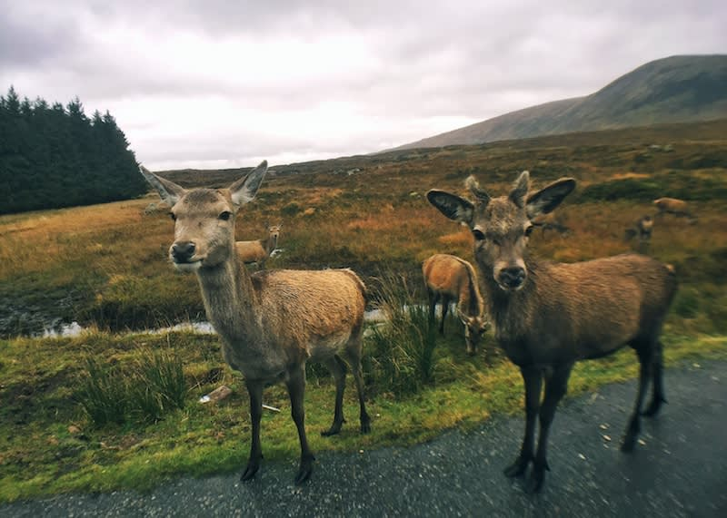 在A82公路上遇到鹿群。Photographer | Serina Su
