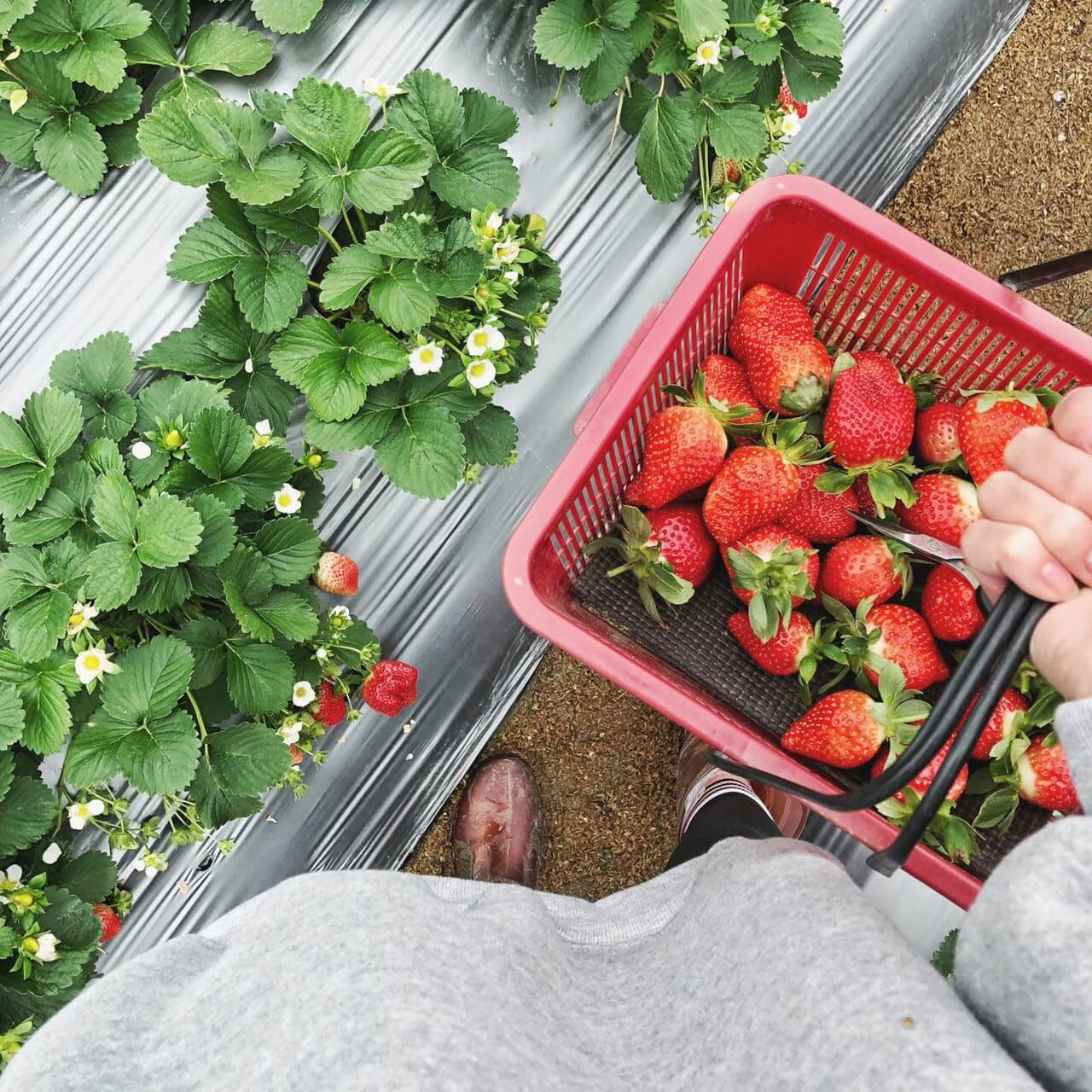 採草莓以秤重計價!圖片來源:賴巧渝