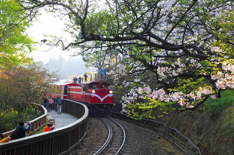 阿里山櫻花(照片來源:Jerry Lai@Flickr)https://goo.gl/zz5Nvo
