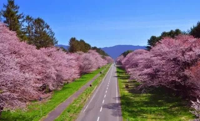 北 海 道 粉 嫩 賞 櫻 。
