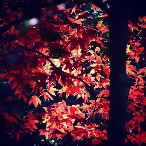 才 轉 過 身 , 彷 彿 就 來 到 了 加 拿 大 楓 樹 林 ( Instagram : gateaux.ext )