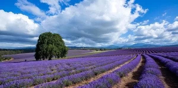 美 麗 的 薰 衣 草 田 。