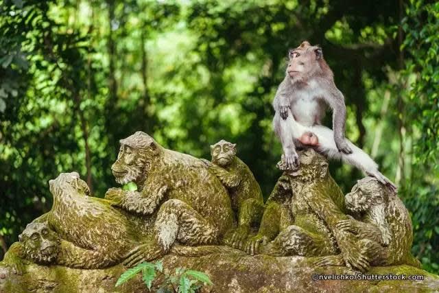 長 尾 獼 猴 。