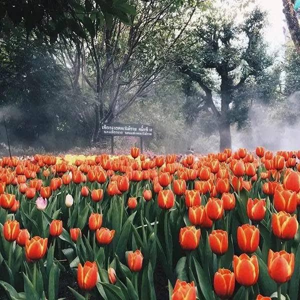 泰國秘境 清 萊 鬱 金 香 花 園 ( Instagram : palmkung )