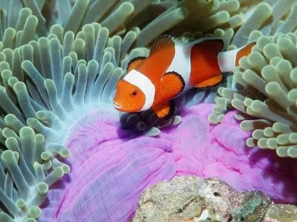 美 麗 的 熱 帶 魚 。