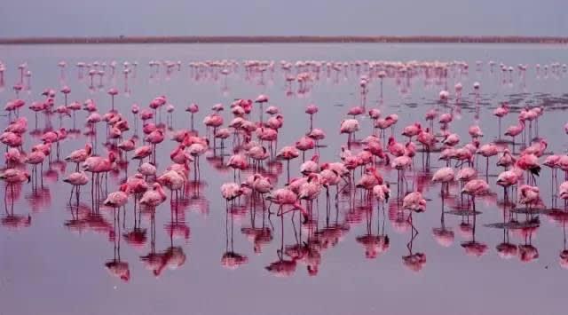 粉 紅 火 焰 鳥