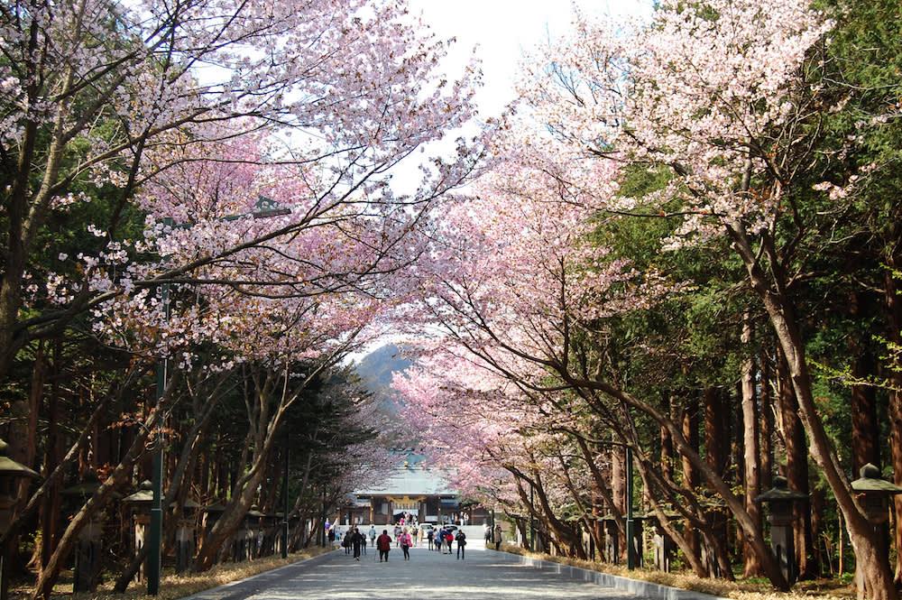 北海道神宮五月櫻花