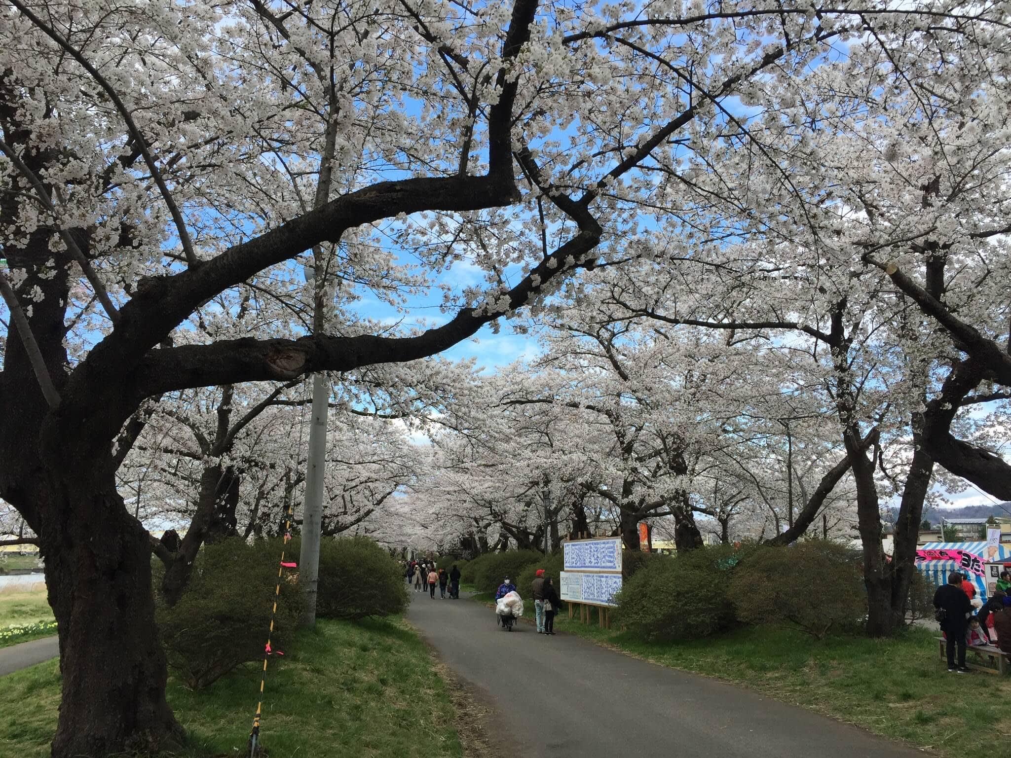 沿路 滿開 的櫻花。