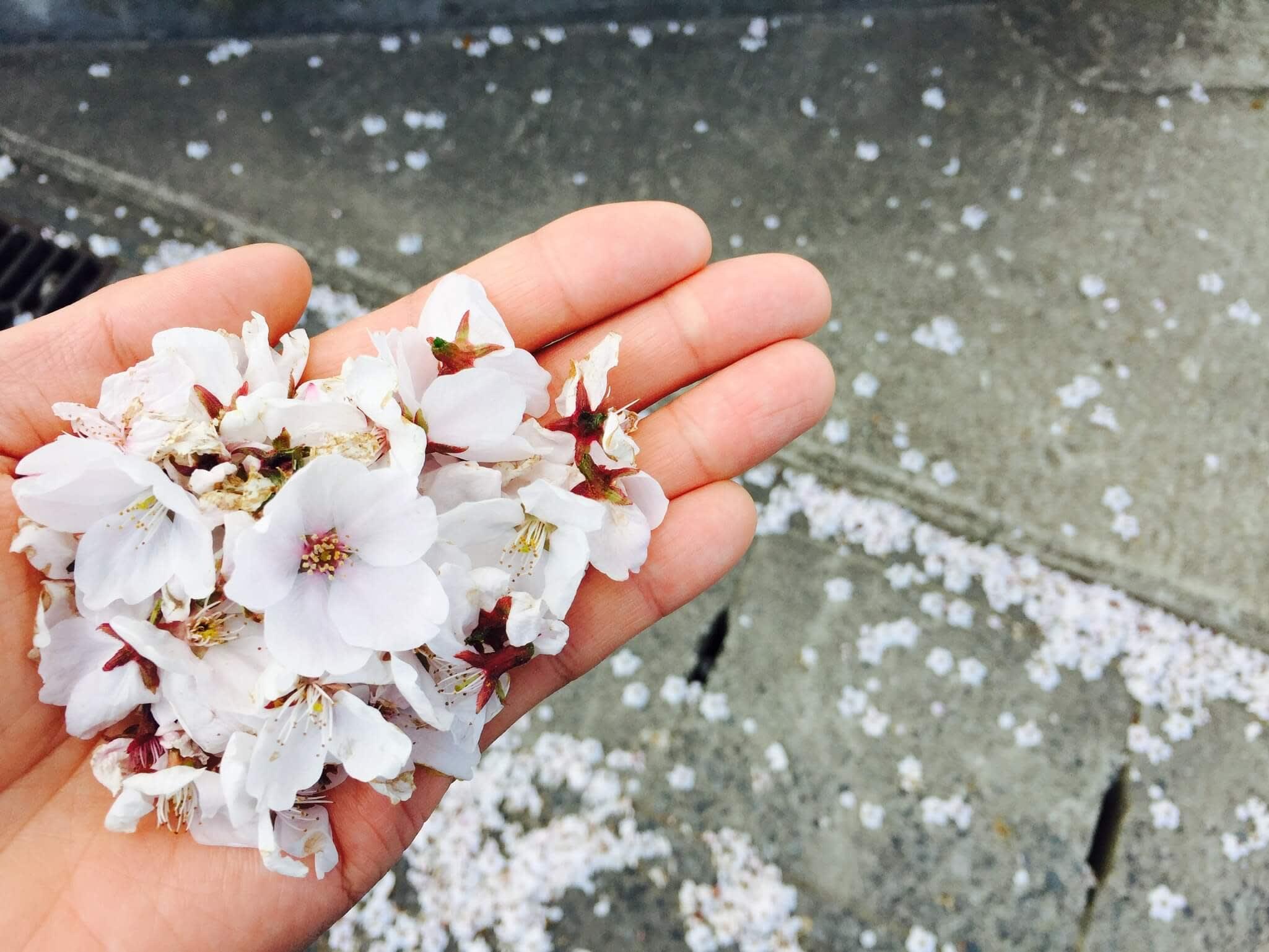 地上櫻花花瓣