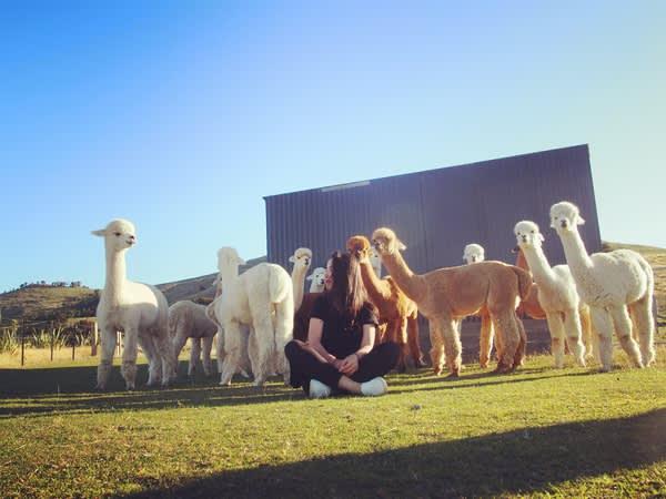 世界上最療癒的工作 ,當羊駝的保姆