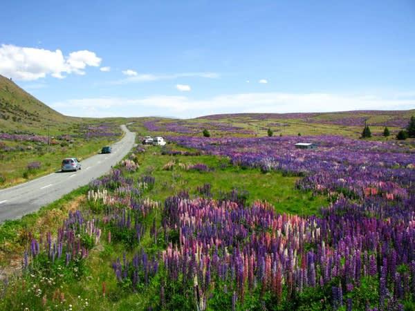沿 著 湖 邊 一 路 向 西 , 向 雪 山 前 進 。 路 上 四 處 可 見 漫 山 遍 野 的 紫 色 花 海 。