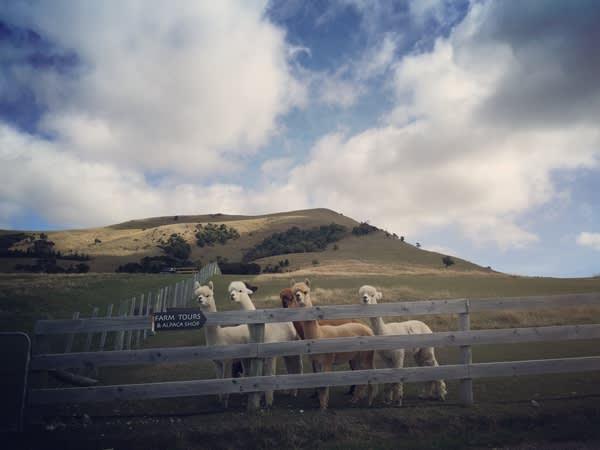 羊駝點名囉!