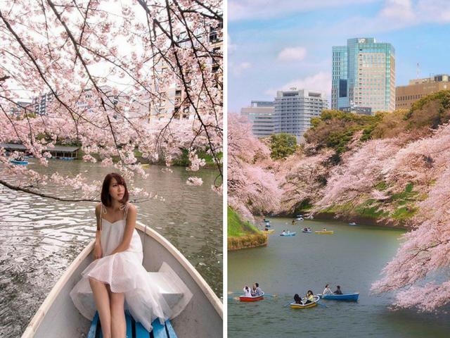 Chidoriga-Fuchi Park Cherry Blossom
