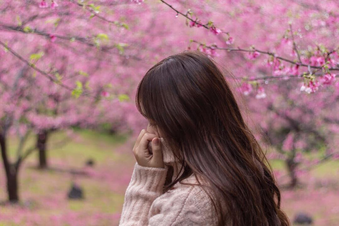 wuji tianyuan temple cherry blossom