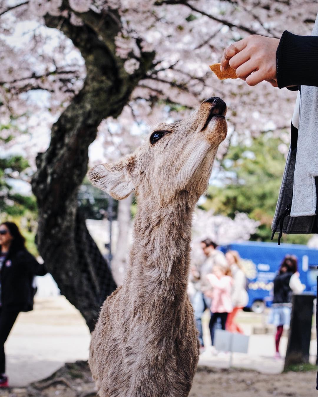 Nara Deer Cherry Blossom