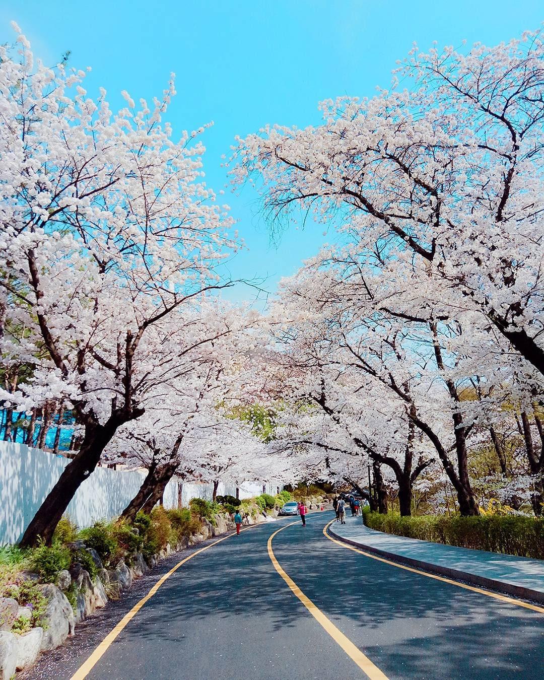 namsan cherry blossom