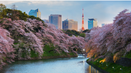 tokyo cherry blossom cruise