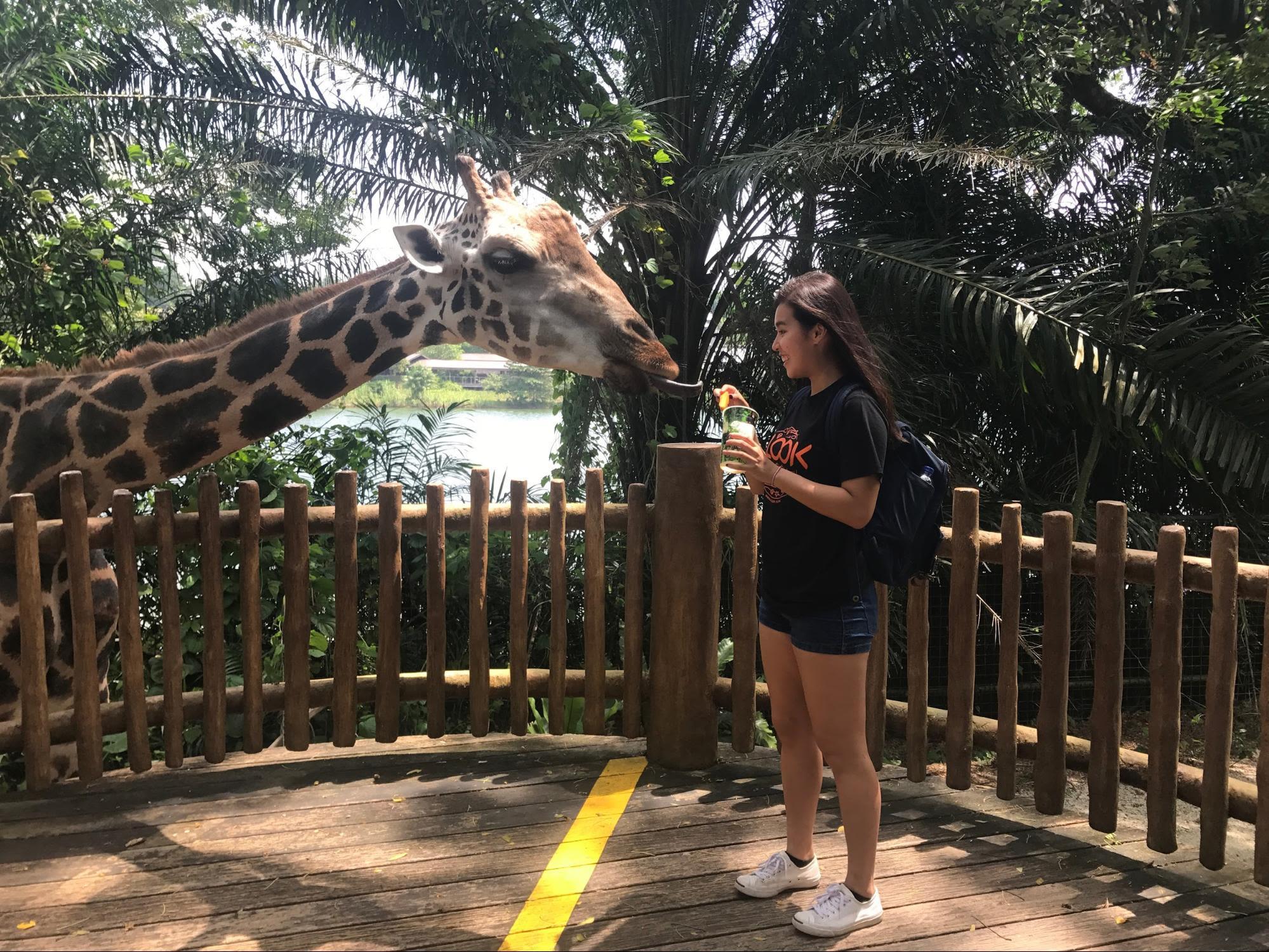 singapore zoo giraffe feeding
