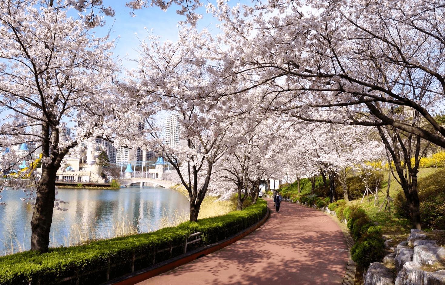 seokcheon lake cherry blossom