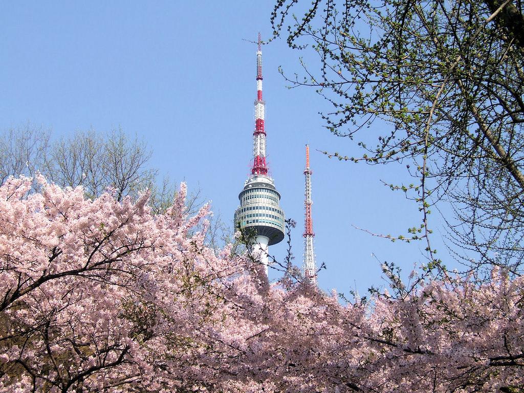namsan park cherry blossom