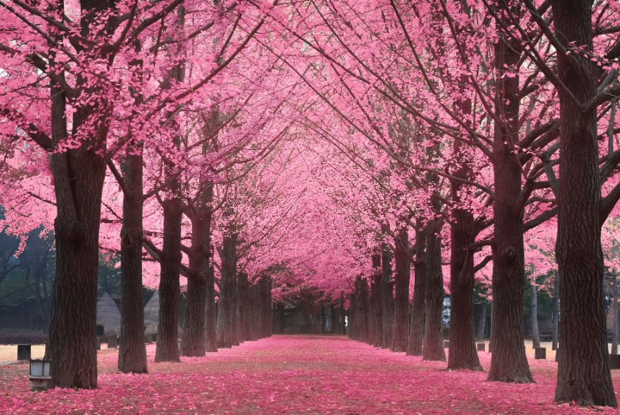 Korea's 2018 Cherry Blossom Forecast And The Best Viewing
